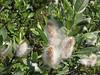 Salix spec. (Paradise, Mount Rainier, Washington)