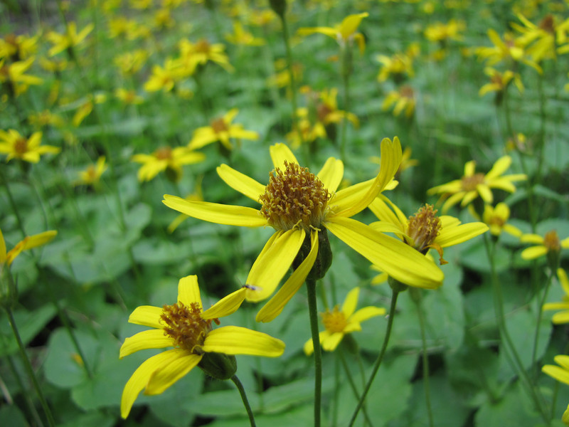 Arnica latifolia near Blewett Pass (1230m) W of Wenatchee