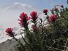 Castilleja parviflora, Paradise, Mount Rainier NP, Skyline Trail