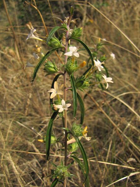 Collomia grandiflora? (near Cashmere - near Wenatchee -, Washington) Wenatchee National Forest