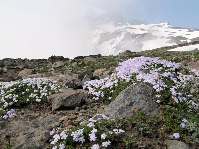 Phlox diffusa ssp. longistylus with Mount Rainier 4342m, Mount Rainier NP, Skyline Trail