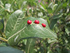 gall-nuts on Salix spec. Paradise, Mount Rainier NP, Skyline Trail