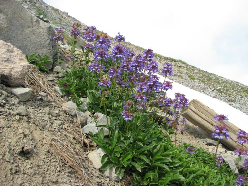 Penstemon procerus ssp. tolmiei? (Skyline Trail, Mount Rainier National Park, Washington)