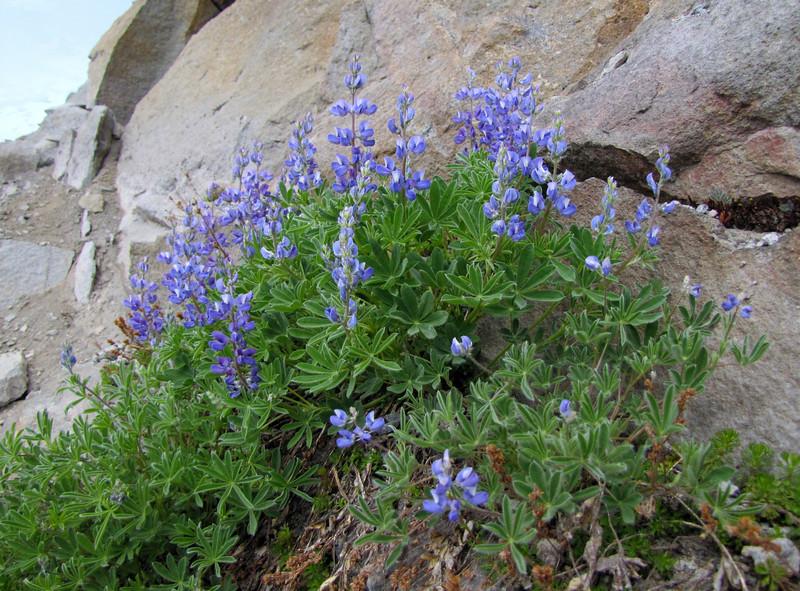 Lupinus lepidus var. lobbii (Skyline Trail, Mount Rainier National Park, Washington)