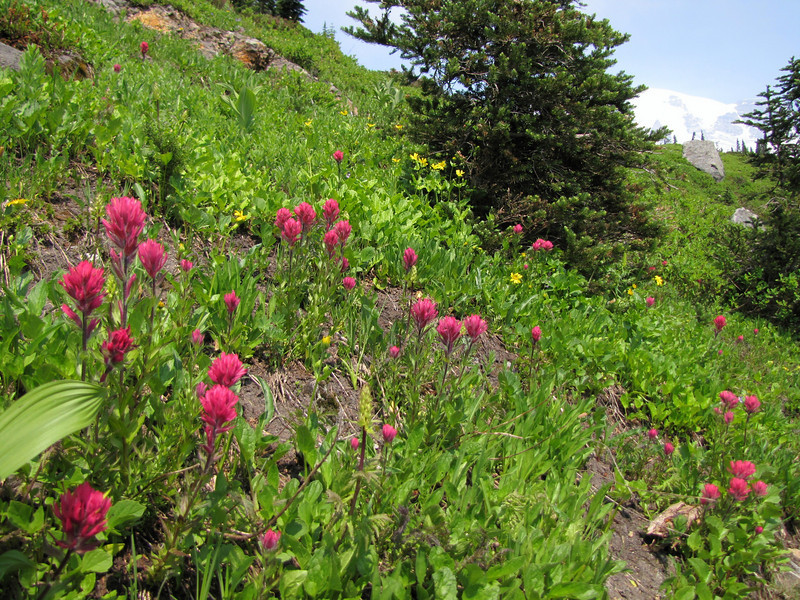 Castilleja parviflora (Paradise, Mount Rainier, Washington)