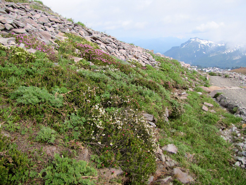 heathland habitat, Mount Rainier NP, Skyline Trail