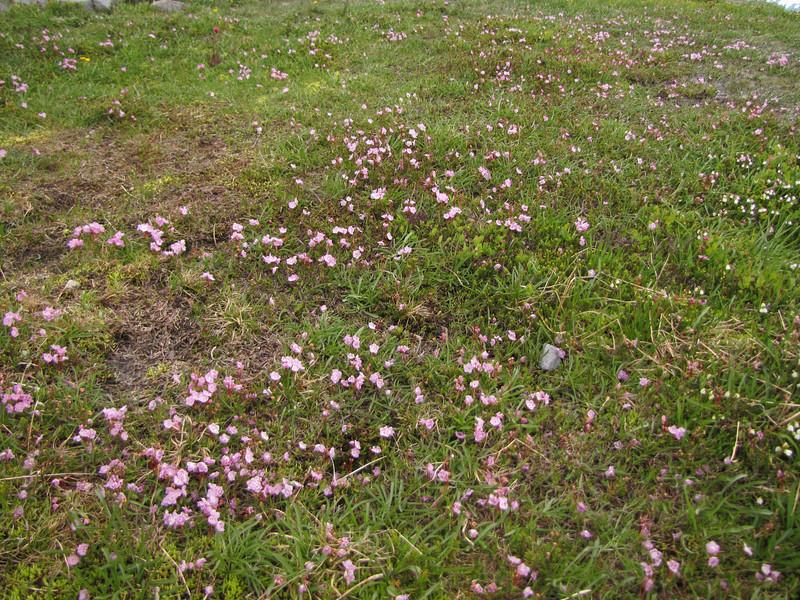 Kalmia microphylla (Skyline Trail, Mount Rainier National Park, Washington)