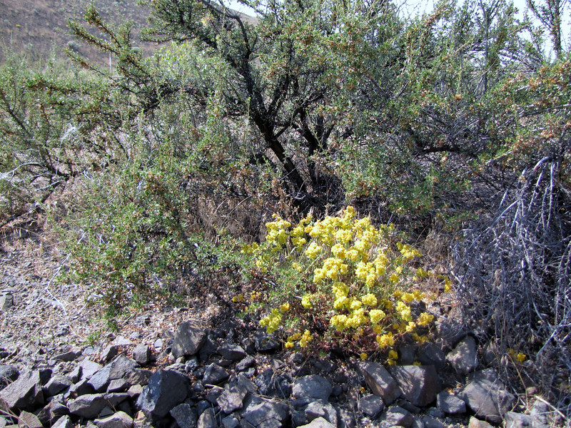 Eriogonum spec. (near Yakima ridge, Interstate 82, Washington)