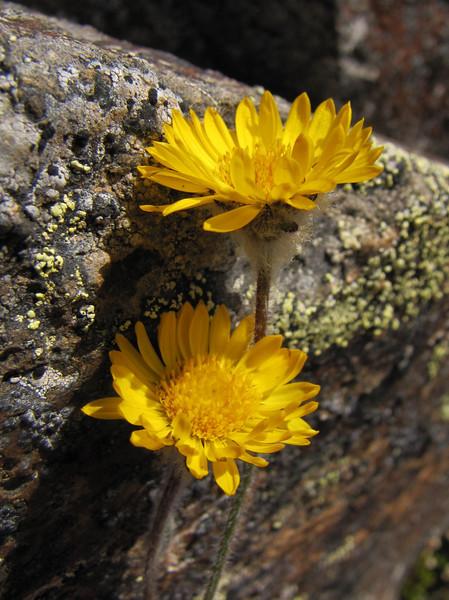 Erigeron aureus, Alpine gold daisy (Northfacing slope under Sunrise Ridge, Sunrise, Mount Rainier National Park, Washington)
