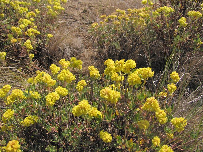 Eriogonum spec. (near Yakima ridge, Interstate 82, Washington)