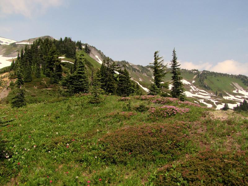 habitat of Phyllodoce empetriformis and Abies lasiocarpa (Paradise, Mount Rainier, Washington)