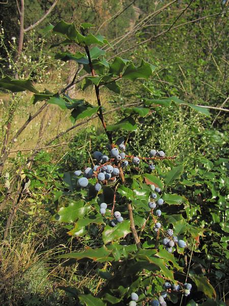 Mahonia spec. (near Cashmere - near Wenatchee -, Washington) Wenatchee National Forest