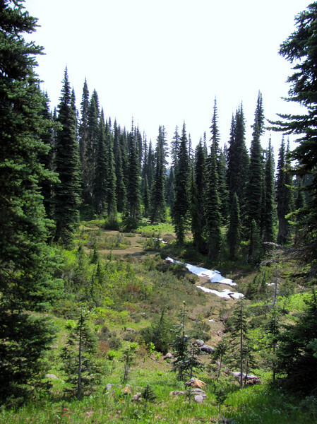 Abies lasiocarpa (Paradise, Mount Rainier, Washington)
