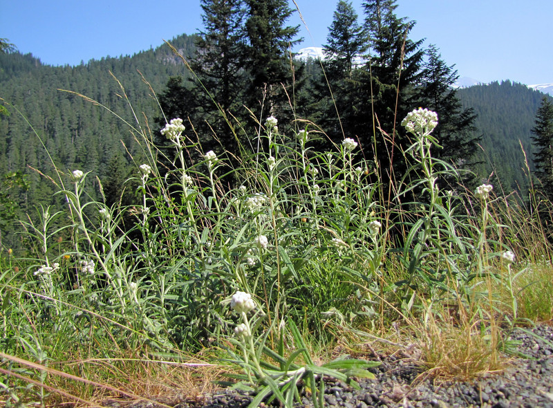 Anaphalis margaritacea (near Nisqually River, Mount Rainier National Park, Washington)