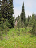 Abies lasiocarpa and Erythronium montanum (Paradise, Mount Rainier, Washington)