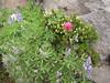 Lupinus lepidus var. lobbii,Phyllodoce glanduliflora and Castilleja spec.  (Mount Rainier NP, Skyline Trail)