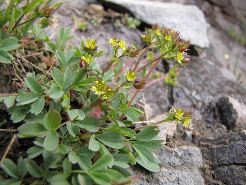 Sibbaldia procumbens (Skyline Trail, Mount Rainier National Park, Washington)