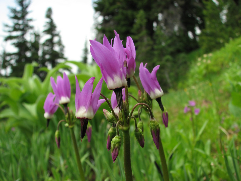 Dodecatheon jeffreyi ssp. jeffreyi (Paradise, Mount Rainier, Washington)