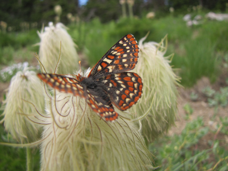 Euphydryas editha, Edith's Checkerspot on Xerophyllum tenax  (southfacing slope under Sunrise Ridge, Sunrise, Mount Rainier National Park, Washington)