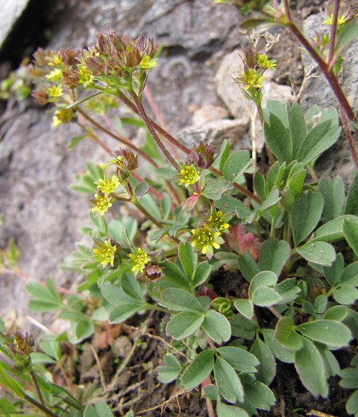 Sibbaldia procumbens (Skyline Trail, Mount Rainier National Park, Washington)