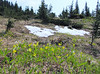 Erythronium grandiflorum, Glacier lily, Paradise, Mount Rainier NP, Skyline Trail