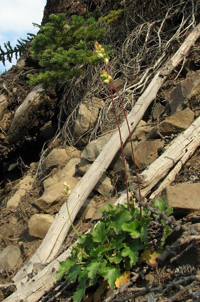 Heuchera cylindrica (Eastern extension of the Wenatchee Mountains, dirt road from Blewett Pass, near Mission Ridge Ski Area, Washington)