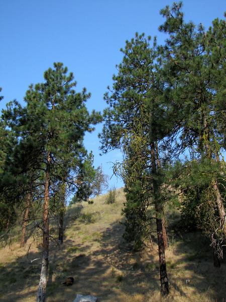 Lichen ? in a Pinaceae, camp site near Cashmere (road 2) Wenatchee