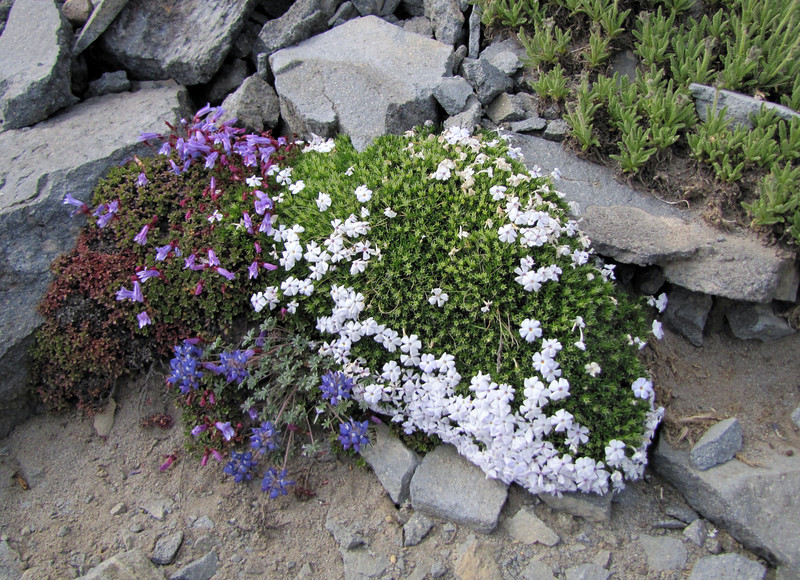 Penstemon davidsonii, Lupinus lepidus var. lobbii  and Phlox diffusa ssp. longistylus with Mount Rainier 4342m, Mount Rainier NP, Skyline Trail