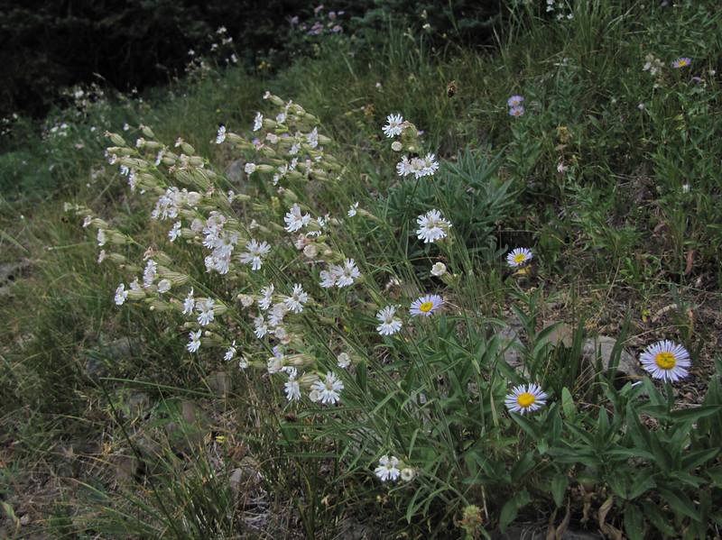 Silene parryi and Erigeron spec. (Eastern extension of the Wenatchee Mountains, dirt road from Blewett Pass 1230m, near Mission Ridge Ski Area, Wenatchee, Washington)