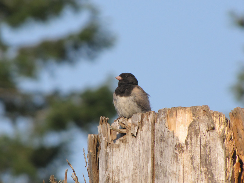 Junco hyemalis, Dark-eyed Junco, camp place near Mineral Lake, road 7, WA