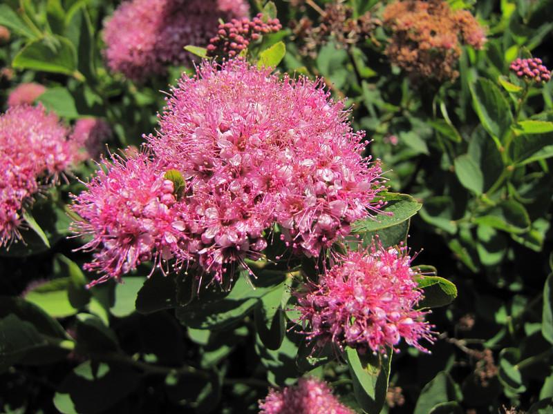 Spiraea splendens var. splendens (Paradise, Mount Rainier National Park, Washington)