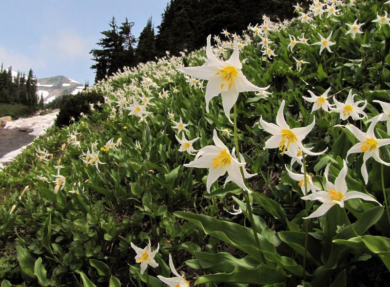 Erythronium montanum (Paradise, Mount Rainier, Washington)