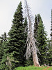 Abies lasiocarpa (Paradise, Mount Rainier, Washington)