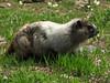 Marmota caligata, hoary marmot, Paradise, Mount Rainier NP, Skyline Trail