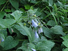 Mertensia paniculata var. borealis (near Nisqually River, Mount Rainier National Park, Washington)(photo Kees Jan)