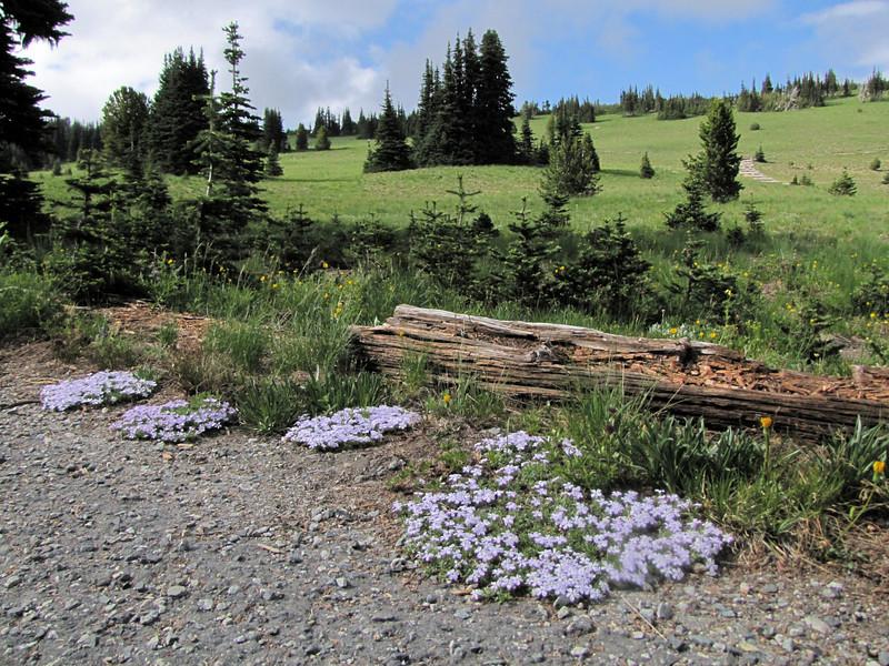 Phlox diffusa ssp. longistylis (Sunrise, Mount Rainier National Park, Washington)