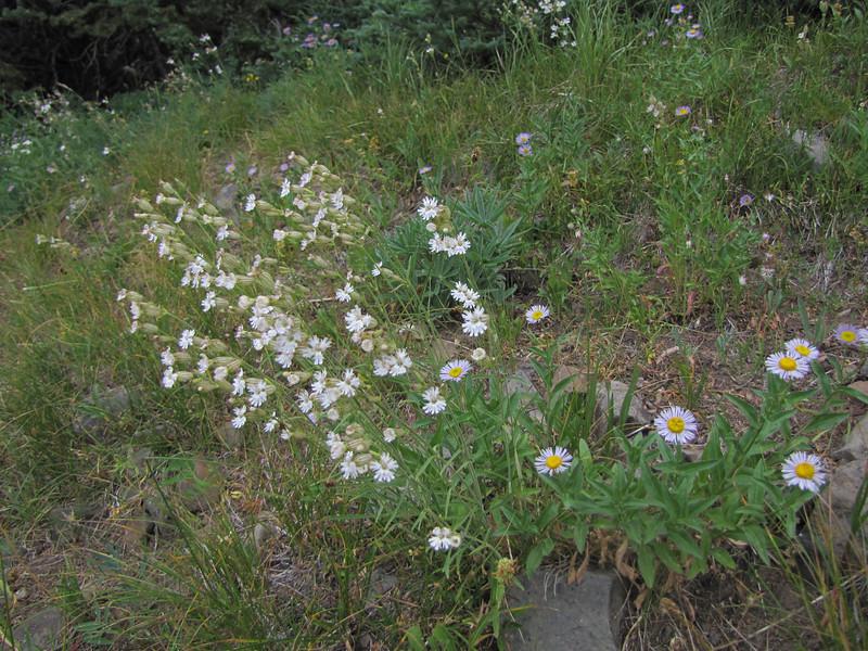 Silene parryi and Erigeron spec. (Eastern extension of the Wenatchee Mountains, dirt road from Blewett Pass 1230m, near Mission Ridge Ski Area, Wenatchee, Washington)