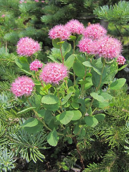 Spiraea splendens var. splendens (Paradise, Mount Rainier, Washington)