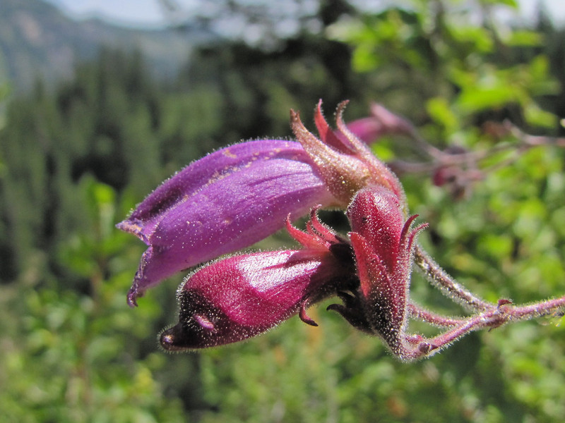 Penstemon spec. (after Paradise - travelling from Nisqually River -, Mount Rainier National Park, Washington)
