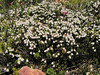 Cassiope mertensiana var. mertensiana (Skyline Trail, Mount Rainier National Park, Washington)