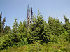 Abies lasiocarpa, Subalpine Fir (Mount Rainier National Park, Washington)