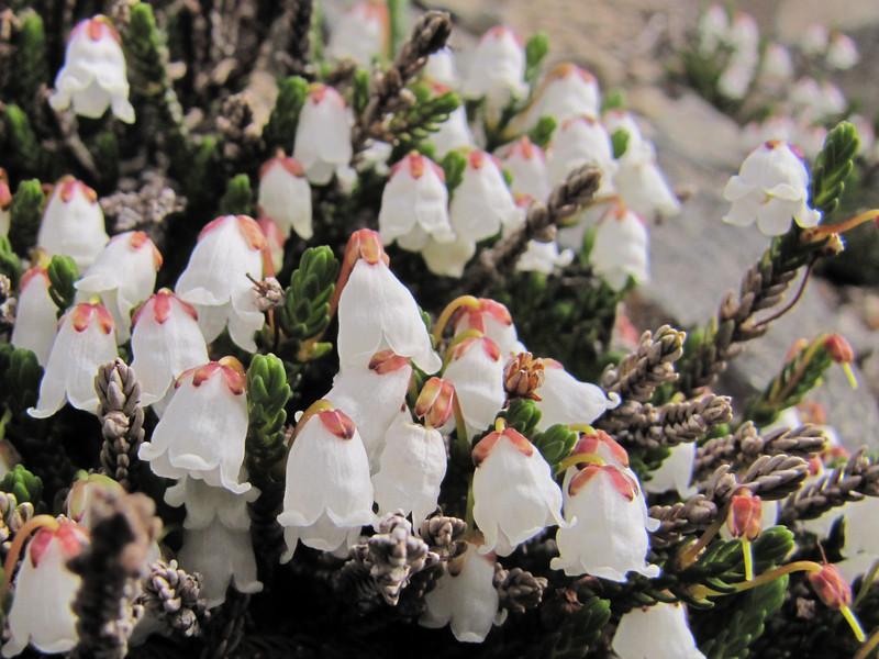 Cassiope mertensiana var. mertensiana (Sunrise Ridge, Sunrise, Mount Rainier National Park, Washington)
