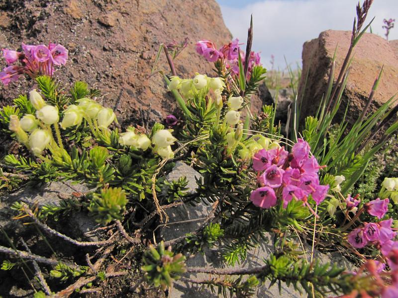 Phyllodoce empetriformis and Phyllodoce glanduliflora, Paradise, Mount Rainier NP, Skyline Trail