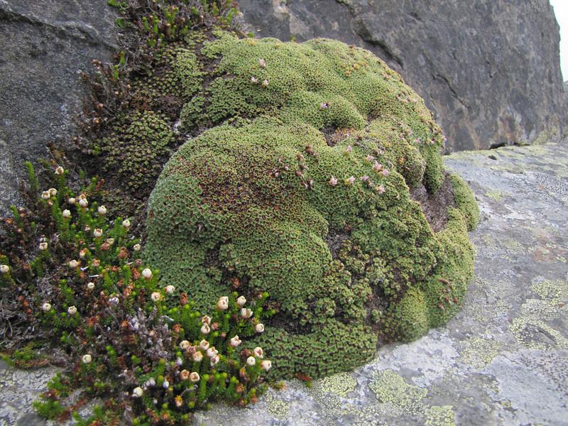 Saxifraga oppositifolia and Harimanella stelleriana (Northfacing slope under Sunrise Ridge, Sunrise, Mount Rainier National Park, Washington)