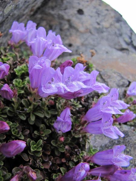 Penstemon davidsonii, (Northfacing slope under Sunrise Ridge, Sunrise, Mount Rainier National Park, Washington)