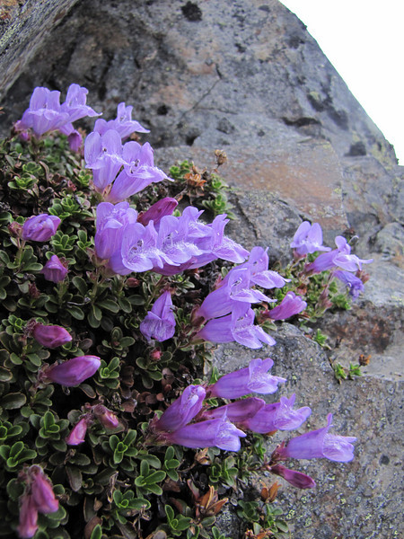 Penstemon davidsonii, (Northfacing slope under Sunrise Ridge, Sunrise, Mount Rainier National Park, Washington)