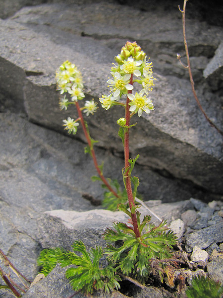 Luetkea pectinata, Mount Rainier NP, Skyline Trail