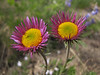 Erigeron spec. (Sunrise, Mount Rainier National Park, Washington)