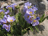 Polemonium elegans (Skyline Trail, Mount Rainier National Park, Washington)