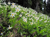 Erythronium montanum (Paradise, Mount Rainier, Washington)